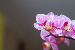 Pink orchid flower blossom Royalty Free Stock Image