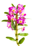 Pink orchid flower branch with leaves Stock Photos