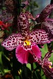 Pink orchid flower with dark red spots pattern, Oncidiinae hybrid subtype, commercial name Cambria. Pink orchid flower with dark red spots pattern, Oncidiinae royalty free stock images