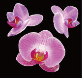 Orchid. Pink Orchid flower with details Royalty Free Stock Photo