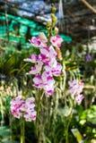 Pink orchid flower, Doritis pulcherrima Lindl. Stock Photos