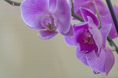Pink orchid. Flower in focus Royalty Free Stock Photos