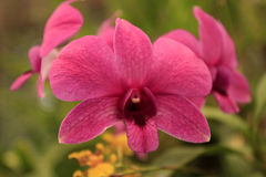 Pink orchid flower. In general orchids represent love, beauty, virility and strength. Delicate pink orchid flower conveys pure affection Royalty Free Stock Image