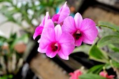 Pink orchid flower 001 Stock Image