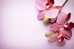 Pink orchid flower. Royalty Free Stock Photography