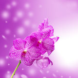 Pink orchid flower isolate on pink background Royalty Free Stock Photos