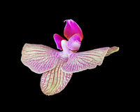 Pink orchid flower isolated on black Royalty Free Stock Photography