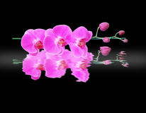 Pink orchid flower isolated on black background Stock Photos