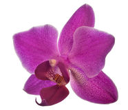 Small dark pink orchid flower on white Royalty Free Stock Photography
