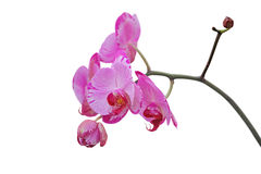 Pink orchid flower, isolated on white Stock Images