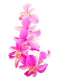 Pink orchid flower isolated Royalty Free Stock Images
