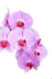 Pink orchid flower Stock Photo