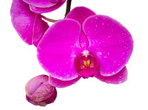 Pink orchid flower isolated on white Royalty Free Stock Photography
