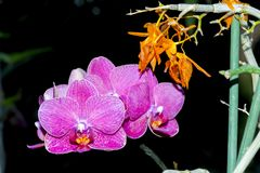 Pink orchid flower. Phalaenopsis pink orchid flower in the dark royalty free stock photo