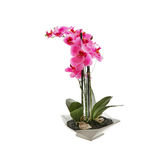 Pink orchid flower, phalaenopsis in a pot Royalty Free Stock Images