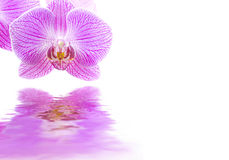 Pink orchid flower reflections Royalty Free Stock Photos
