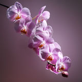 Pink Orchid Flower Royalty Free Stock Photo