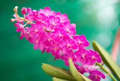 Pink orchid flower Royalty Free Stock Images