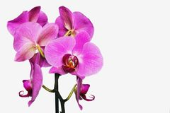 Pink orchid flower on white background isolate. royalty free stock image