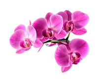 Pink orchid flower. Royalty Free Stock Photos