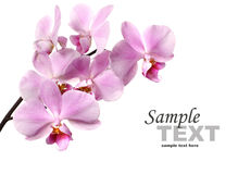 Pink orchid flowers. Isolated on white background Stock Image