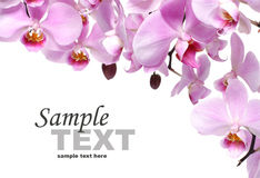 Pink orchid flowers. Isolated on white background Royalty Free Stock Image