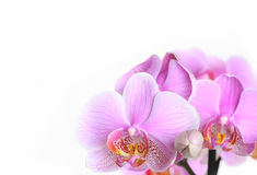 Pink orchid flowers Stock Images