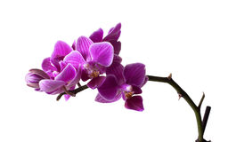 Pink orchid flowers. Closeup of a pink orchid branch with flowers isolated on white background Stock Photos