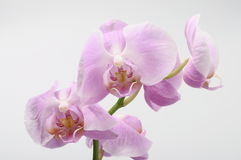 Pink orchid flowers Royalty Free Stock Photography