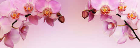 Pink orchid flowers Royalty Free Stock Images