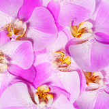 Pink Orchid Flowers background. Beautiful bouquet Royalty Free Stock Image