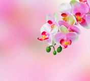 Pink orchid flowers background Royalty Free Stock Image