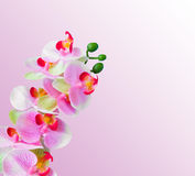 Pink orchid flowers background Stock Photos