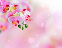 Pink orchid flowers background Stock Photography
