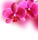 Pink Orchid Flowers. Royalty Free Stock Image