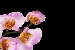 Pink orchid flowers on black background Stock Images