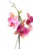 Pink orchid flowers in bloom. Decorative pink orchid flowers in bloom isolated on white background Stock Images