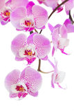 Pink  orchid flowers branch close up. Isolated on white background Royalty Free Stock Images