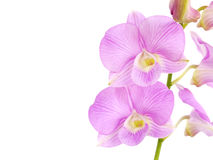 Pink orchid flowers with branch isolated on white background Stock Image