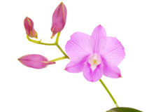 Pink orchid flowers with branch isolated on white background Royalty Free Stock Photos