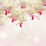 Pink orchid flowers Royalty Free Stock Photo