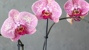 Pink orchid flowers stock video footage