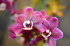 Pink Orchid Flowers Closeup Royalty Free Stock Photos