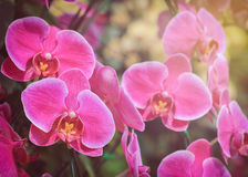 Pink orchid flowers Royalty Free Stock Photos