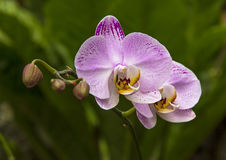 Pink orchid flowers Royalty Free Stock Image