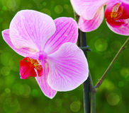 Pink orchid. Stock Photos