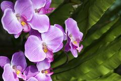 Pink orchid flowers tropical garden asia Royalty Free Stock Images