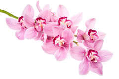 Pink orchid flowers isolated Royalty Free Stock Photo
