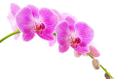 Pink orchid flowers isolated Stock Photography