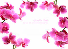 Pink orchid flowers isolated over white Stock Photography